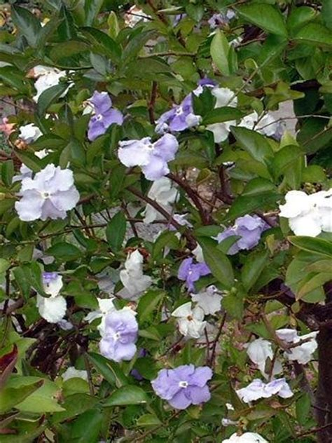 PlantFiles Pictures: Brunfelsia Species, Yesterday, Today