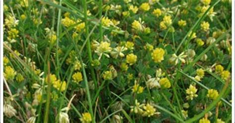 Lesser Trefoil - Yellow Suckling Clover ~ Lawn and Turf Care