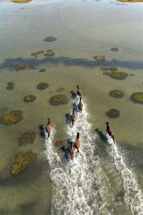Wild horses of Shackleford Banks Cape Lookout National