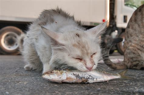 Photo 1220-20: White cat eating a fish near Wholesale Fish