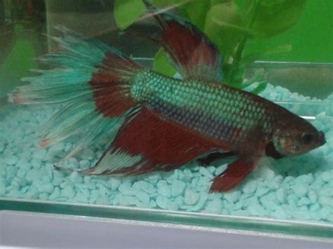 Beta Fish Has Fin Rot And Won't Eat, What Do I Do? | My