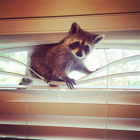 Rescued Baby Raccoon Thinks She's A Dog   Top13