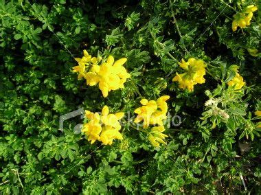 Birdfoot Trefoil | Stock images free, Colour images, Stock