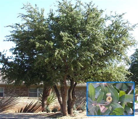 Trees - For North Texas deciduous and evergreen shade or