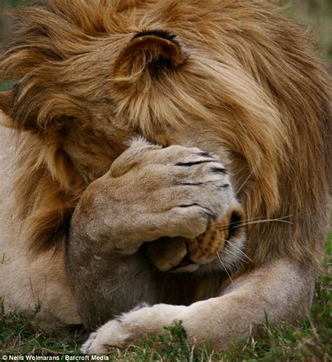 I said no pictures! Shy lion covers eyes with his paw as