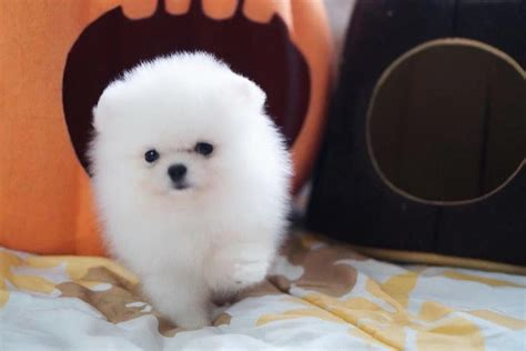 White Pomeranian Puppies Available For Sale in Catharine