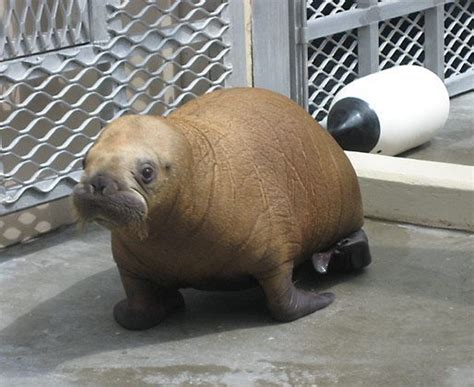 Baby Walruses: No Tusks, But Lots Of Cute | Baby Animal Zoo