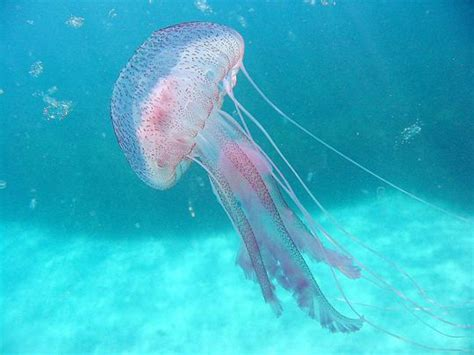 What can be done to treat jellyfish stings?