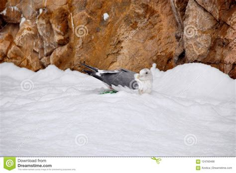 A Seagull Is Laying Eggs On Snow Nest