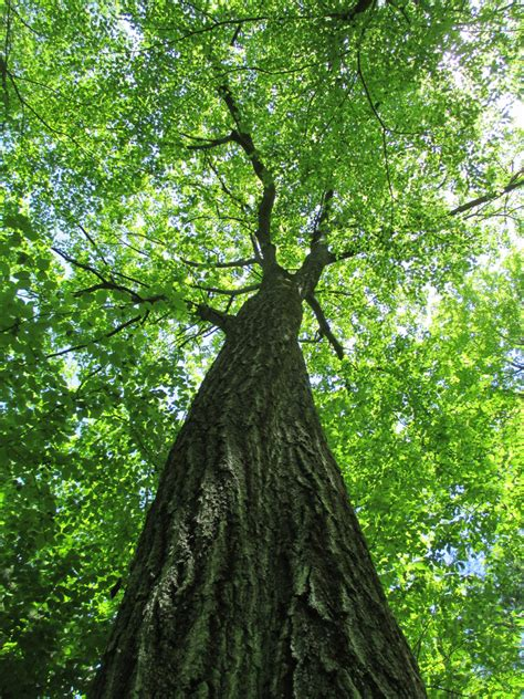 Seeing the forest for the trees: What one oak tells us