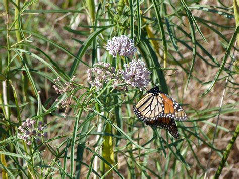 Why Plant Only Native Milkweeds — California Native Plant