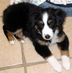 Dog Breeders in Nevada / Puppies For Sale in Nevada